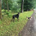 Dobermann s'amusant avec Malinois et Beagle