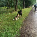 Beagle jouant avec Dobermann