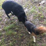 Groenendael reniflant un Beagle