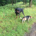 Dobermann et Beagle