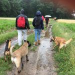 Bergers belges malinois sous la pluie