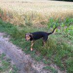 Beagle trempé