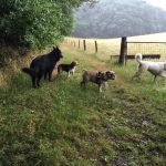 Goenendael, berger blanc suisse, beagle et bulldog anglais