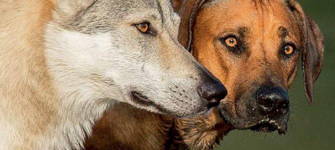 La domestication et son implication sur le chien d'aujourd'hui