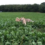 Husky sibérien en interaction
