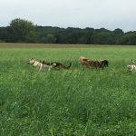 Husky Sibérien courant avec d'autres chiens dans les champs