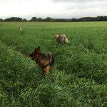 Berger allemand en relation avec d'autres chiens