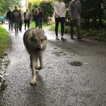 Chien-loup tchécoslovaque en promenade