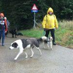 Border-collie se promenant sous la pluie