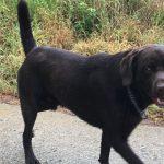 Labrador-retriever en promenade