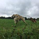 Berger allemand et Chiens loups tchèques jouant