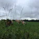 Berger allemand en interaction avec d'autres chiens dans un champ