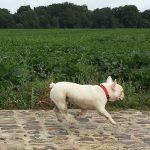 Bouledogue français courant le long d'un champ