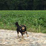 Chihuahua le long d'un champ
