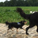 Chihuahua se promenant