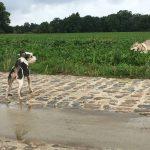 Jeux entre berger allemand et chien loup tchéchoslovaque