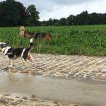 Berger allemand jouant avec d'autres chiens