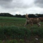 Husky Sibérien courant dans un champ