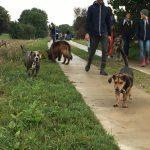 Beagle, American Staffordshire et Berger allemand