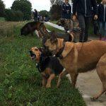 Beagle et Berger malinois jouant ensemble