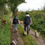 Bulldog anglais et Cairn-terrier en en promenade