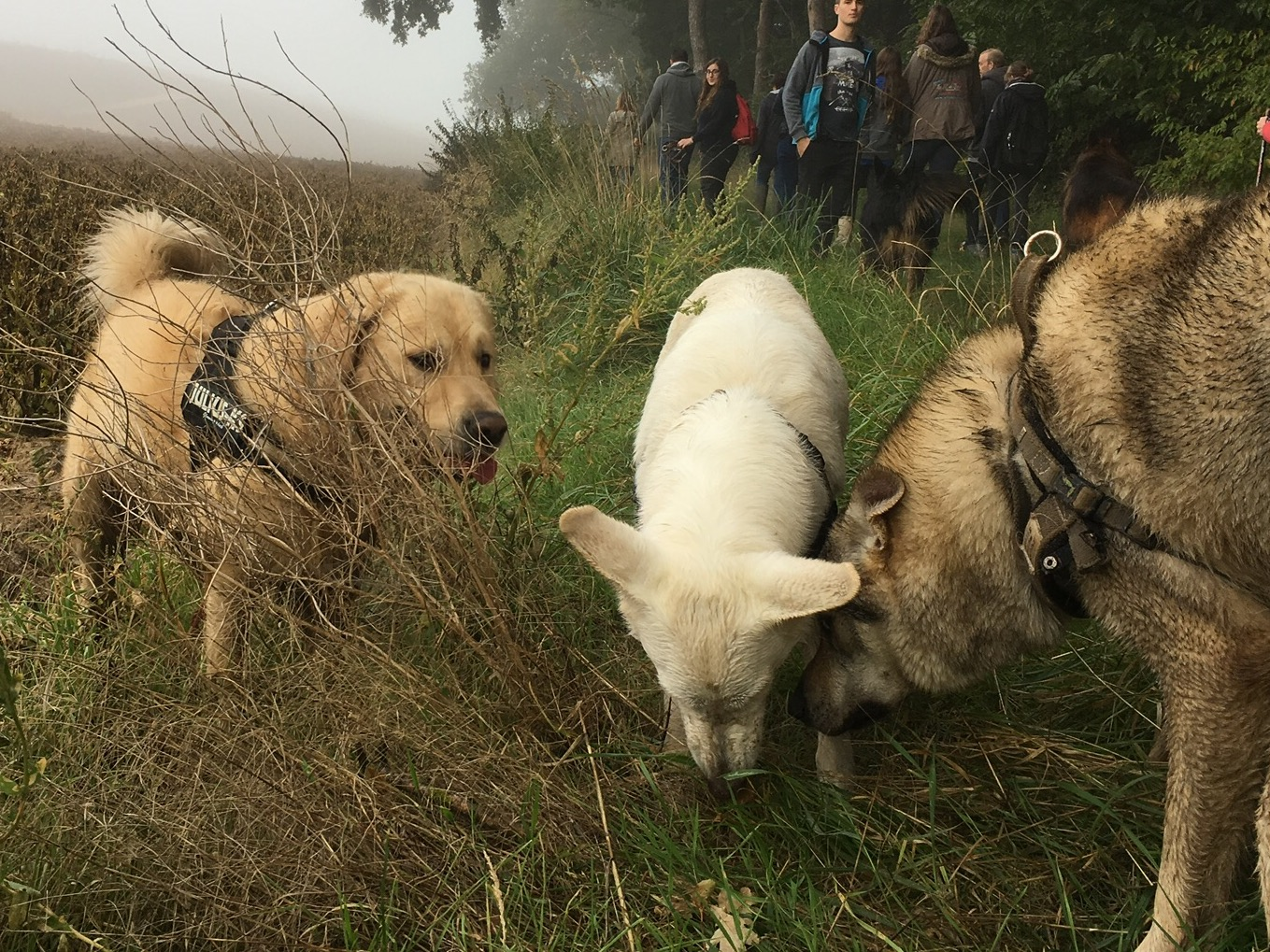 Golden retriever regardant un berger blanc interagissant avec un chien loup