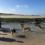 Malinois, Berger allemand et Bulldog anglais heureux dans l'eau