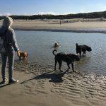 Staffordshire terrier américain, Bouvier des Flandres et Bulldog anglais dans l'eau de mer