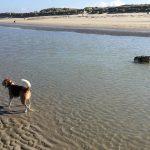 Beagle les pattes dans l'eau et Bulldog anglais nageant dans la mer