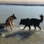 Berger allemand jouant dans la mer avec d'autres chiens
