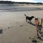 Golden retriever, Beagle et Malinois qui jouent dans sur la plage