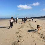 Berger allemand et Braque de weimar qui découvrent la plage avec d'autres chiens