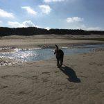 Magnifique photo d'un beagle photographié à contre jour sur la plage