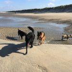 Groenendael, Berger allemand et Bulldog anglais qui s'amusent sur la plage