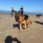 Berger allemand fatigué de marcher sur le sable