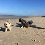 Cairn-Terrier, Bearded Collie et Shih Tzu à la mer