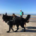 Berger allemand et Groenendael interagissant sur la plage