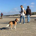 Beagle profitant de l'air marin