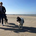 Epagneul breton à la mer