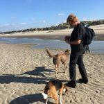 Beagle et Braque de Weimar profitant de la plage