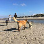 Prise d'informations entre malinois et cairn-terrier