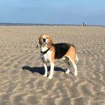 Beagle profitant du soleil à la plage
