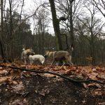 Chien-loup tchécoslovaque au milieu des arbres