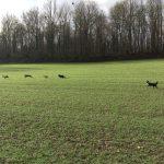 Galopade de chiens dans les vastes étendues