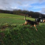 Beagle et Malinois galopant dans les champs