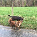 Labrador Retriever accompagné lors d'une balade