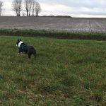 Bouledogue français courant dans la prairie