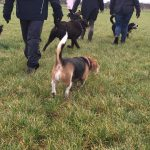 Beagle et Labrador en balade canine