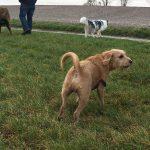 Berger Portugais, Berger Australien et Griffon fauve se promenant dans une prairie