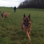 Berger allemand, Malinois, Border collie et Bouvier Bernois